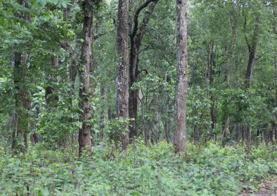 Sal forest on Terai in Nepal